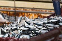 サバの水揚げ -境漁港-