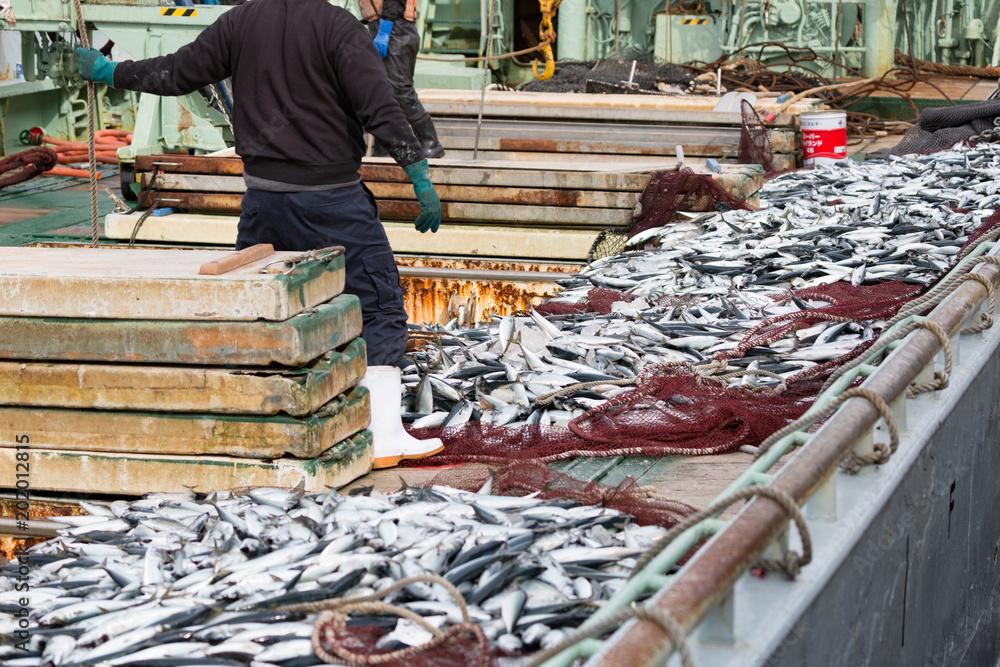 Fototapeta サバの水揚げ -境漁港-