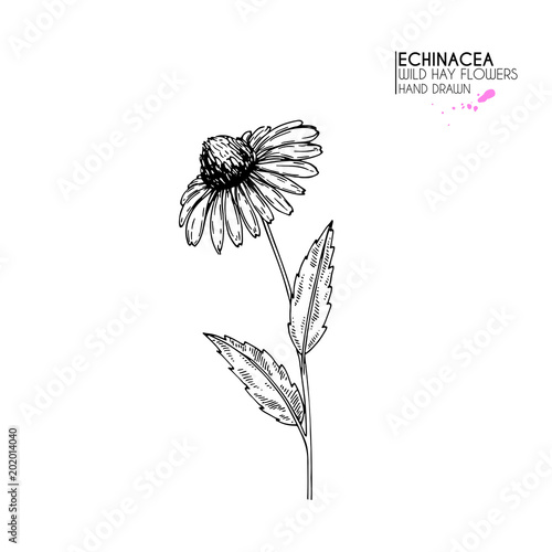 Hand drawn wild hay flowers. Echinacea flower. Medical herb. Vintage engraved art. Botanical illustration. Good for cosmetics, medicine, treating, aromatherapy, nursing, package design, field bouquet. Wall mural