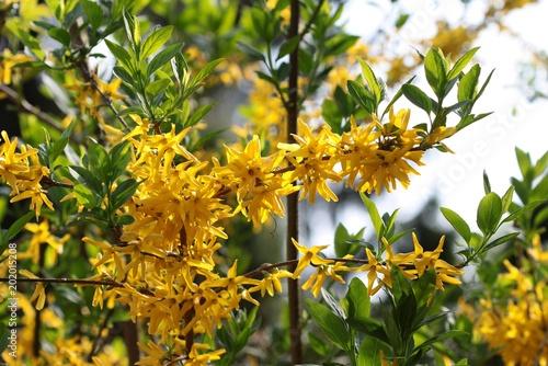 Fotografie, Obraz forsythia bush in blossom