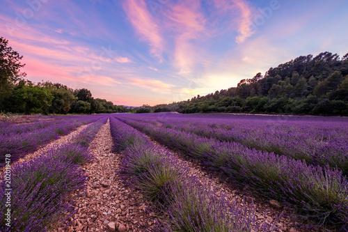 Fotobehang Lavendel Champ de lavande en été, château de Gréoux-les-Bains au loin. Alpes de Haute Provence, France.