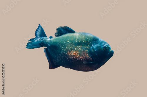 Valokuva  piranha isolated in grey background