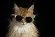 beautiful cat with sunglasses