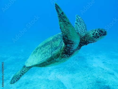 Foto op Canvas Schildpad Beautiful sea turtle