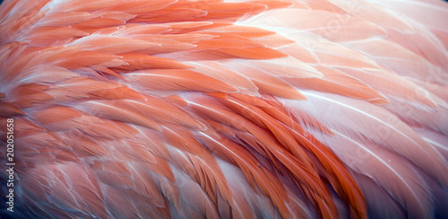 Pink flamingo feather background. Closeup texture