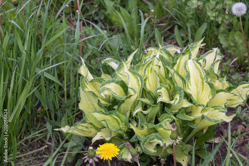 Young Hosta With Variegated Foliage In Spring Garden Beautiful