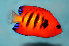 Flame Angelfish Aquarium Marin...