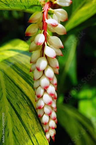 White and orange flowers of shell ginger (Alpinia zerumbet) Wallpaper Mural