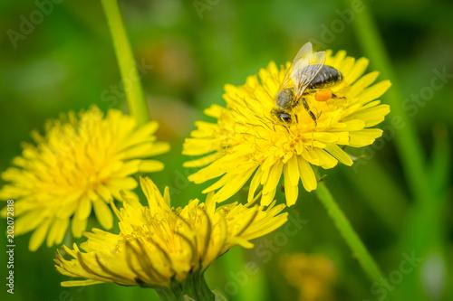 Keuken foto achterwand Paardebloem Close up macro of bee collecting pollen on blooming yellow dandelion flower (Taraxacum officinale). Detail of bright dandelion in meadow at springtime.