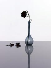 Single Black Rose In Vase On White Background