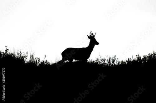 Foto op Plexiglas Ree Roe deer, Capreolus capreolus, Backlit