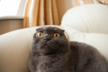 Funny Gray Scottishfold Cat Sitting On Sofa And Looking Up - Domestic Pets Concept