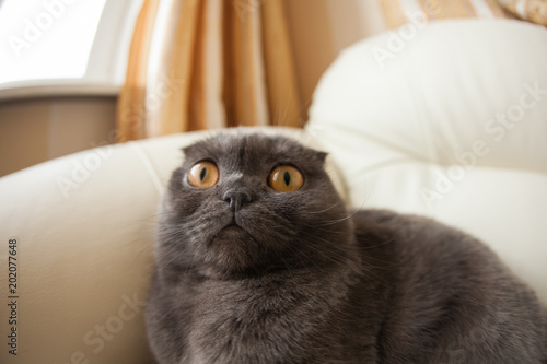 Keuken foto achterwand Kat Funny gray scottishfold cat sitting on sofa and looking up - domestic pets concept