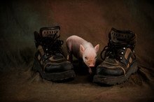 Newly Born Piglet Of Vietnamese Chinese Pig Breed Plays With Huge Working Boots In The Studio. Beautiful Background Desktop Wallpaper Postcard. Photos Of Old Style With Soft Pattern. Selective Focus