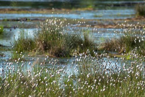 Fotografie, Obraz cotton grass (Eriophorum vaginatum) and water in the Venner Moor, raised bog  la