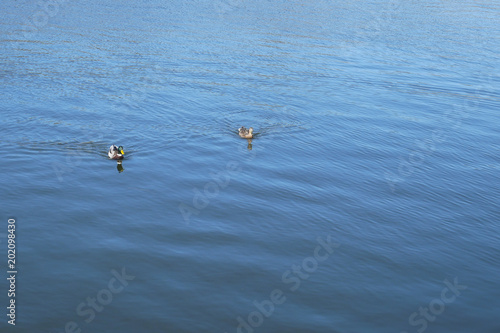 Fotografie, Obraz  Pair of wild duck floats on water surface in mating season at April