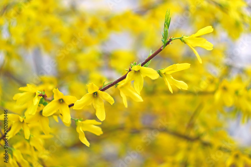 Fotografía Forsythia many yellow flowers blossoming in April, artwork background close-up