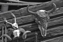 Buffalo, Deer And Ram Skulls