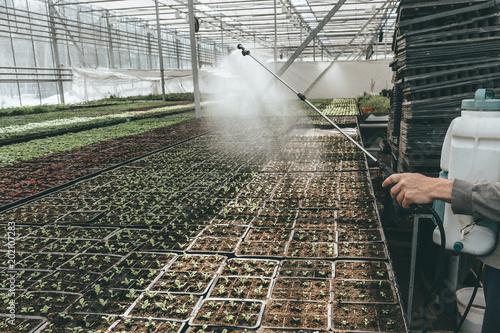 Cuadros en Lienzo Gardener worker watering seeding plants in hydroponic glasshouse with sprinkler,