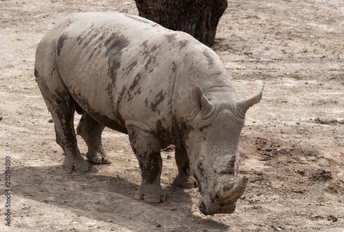Fotografie, Obraz  Big massive rhino in a city zoo