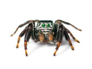 Jumping Spider Arachnid Insect Isolated on White