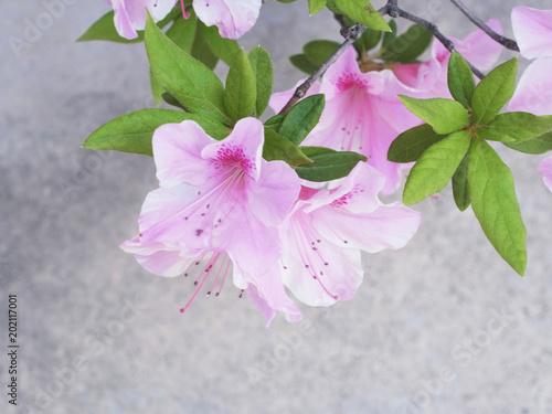 Deurstickers Azalea ツツジの花