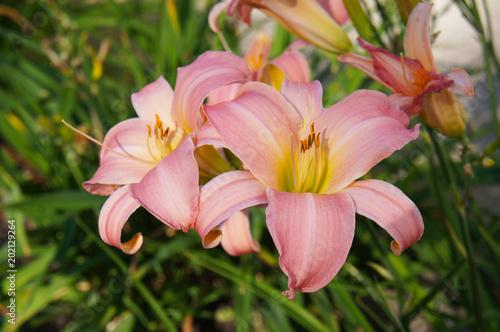Hemerocallis hybrid or daylilly pink flowers with yellow core