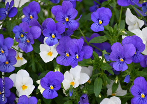 Blue, purple and white flowers