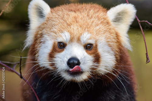 Red panda licking its face Canvas Print