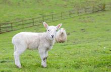 Young Welsh Mountain Sheep Lamb