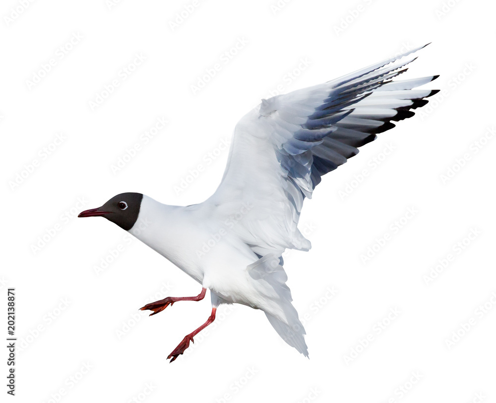 isolated small flying black headed gull