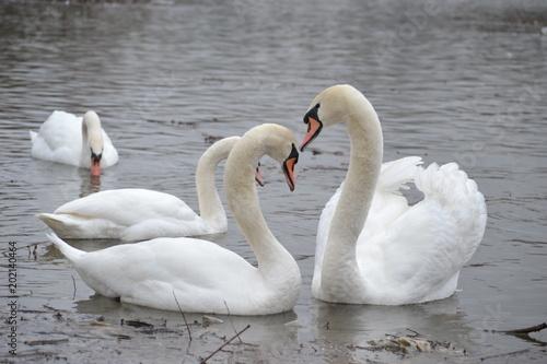 Fotografie, Obraz  Swans on the lake in winter