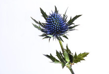 Blue Thistle On White Backgrou...
