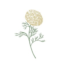 Elegant Flowers And Leaves Of Ammi Visnaga Or Toothpick-plant Hand Drawn On White Background. Beautiful Flowering Plant Or Wildflower. Natural Botanical Vector Illustration In Antique Style.
