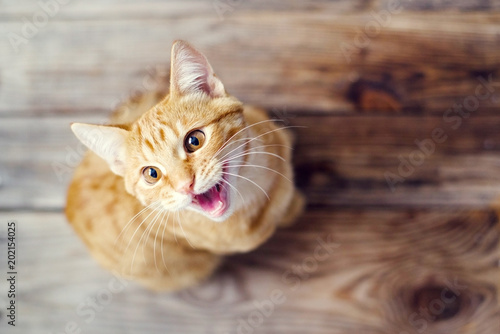 Fototapeta Beautiful red kitten on a wooden surface close up, top view