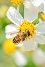 Little Bee Hang On The White Flower