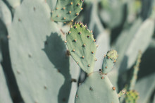 Opuntia Humifusa Cactus In A Sunny Day. Eastern Prickly Pear. Desert Plant