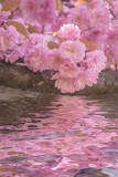 Branches of cherry blossoms above the water, reflection of pink lush flowers in the water.