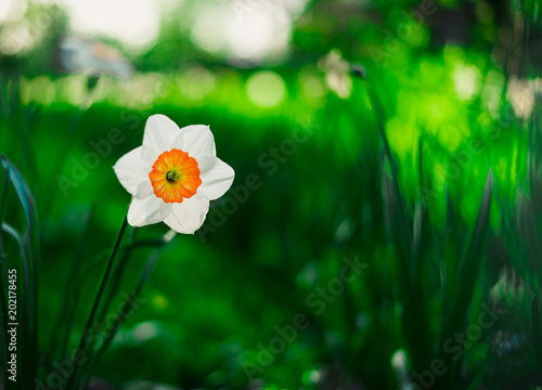 Papiers peints Narcisse narcissus blooming in spring close-up. Narcissus poeticus