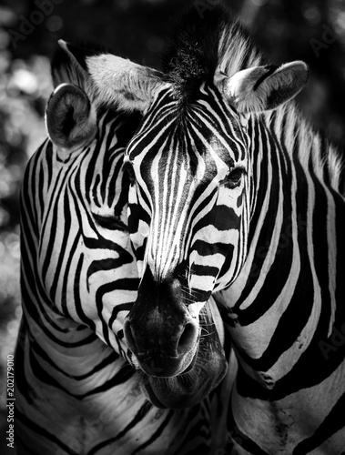 Foto op Canvas Zebra Zwei Zebras zusammen im Portrait