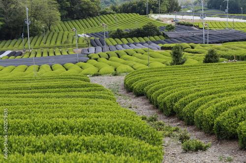 Papiers peints Vignoble 和束町 茶源郷の茶畑