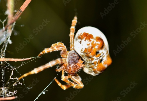 Photo An adult Bolas Spider (Mastophora cornigera) maneuvering a silken thread in a pine tree