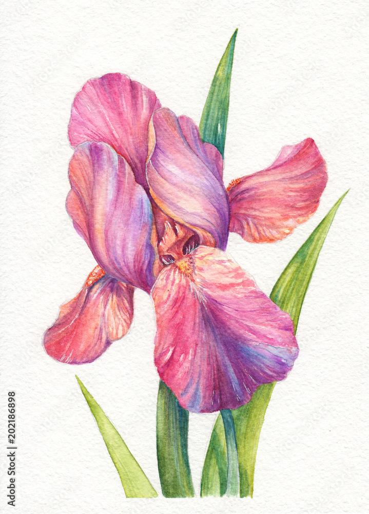 Akwarela rysunek kwiatów tęczówki