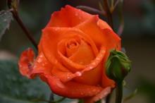 Wet Rose In Orange Rain