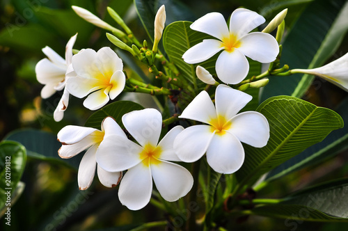 Tuinposter Frangipani White and Yellow plumeria frangipani flowers with green leaves.