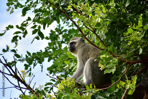 Foto op Canvas Aap vervet monkey in Kruger National park in South Africa