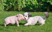 Young Minipig And A Dog, Coton...