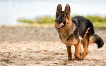 Shepherd Dog Runs On The Beach