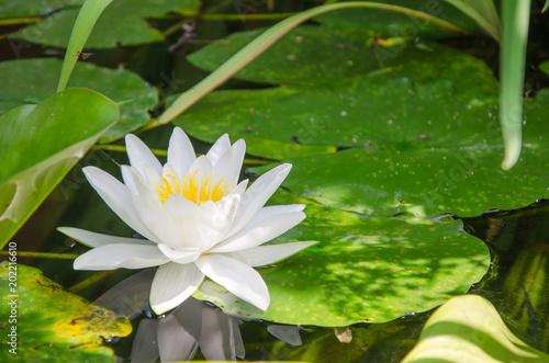 Foto op Canvas Waterlelies Seerosen