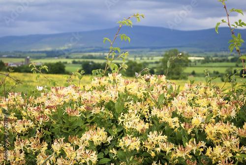 Fotografía Honeysuckle / A hedgerow of European Honeysuckle, Lonicera periclymenum, in Westmoreland, England